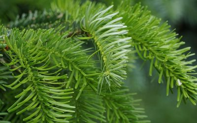 Gesegnete Zweige für Ihren Adventkranz